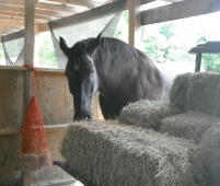 Buddy snacking on the hay wagon